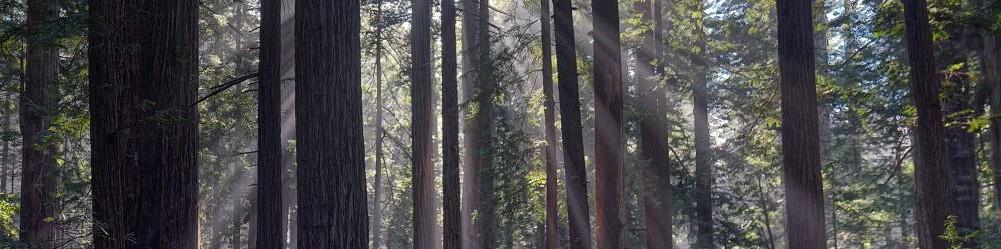 Redwoods-Blog