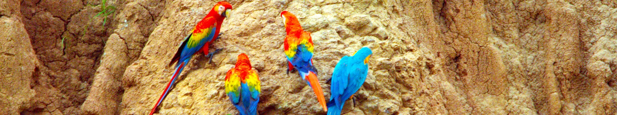 Blue-and-yellow Macaws and Scarlet Macaws at the clay lick