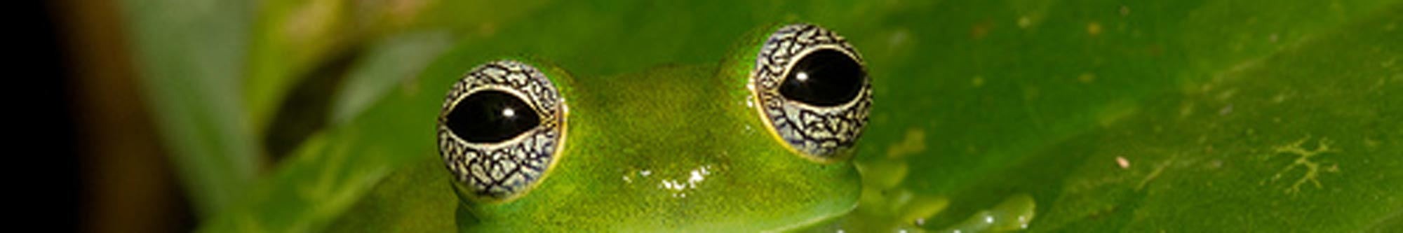 glassfroggy1