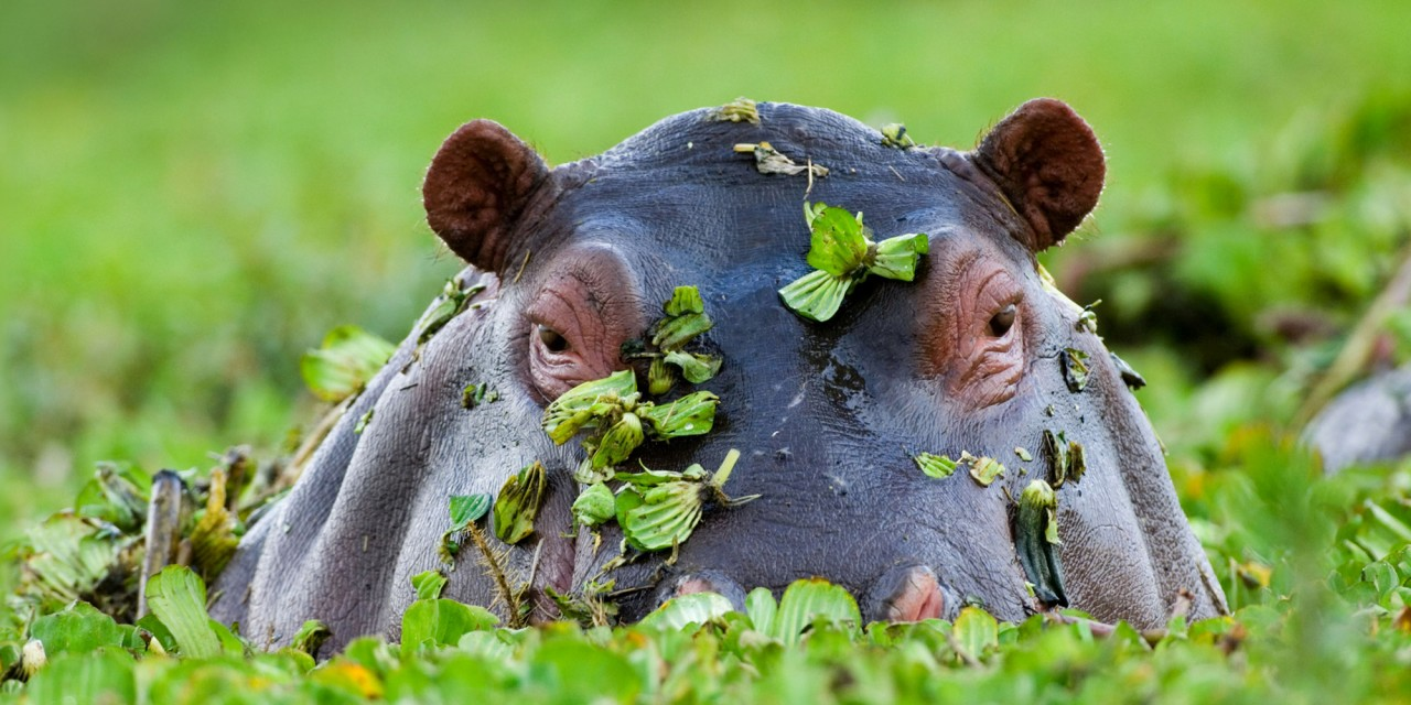 A hippo at Masai Mara