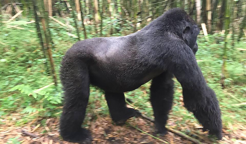 A Silverback Gorilla in Volcanoes National Park, Rwanda