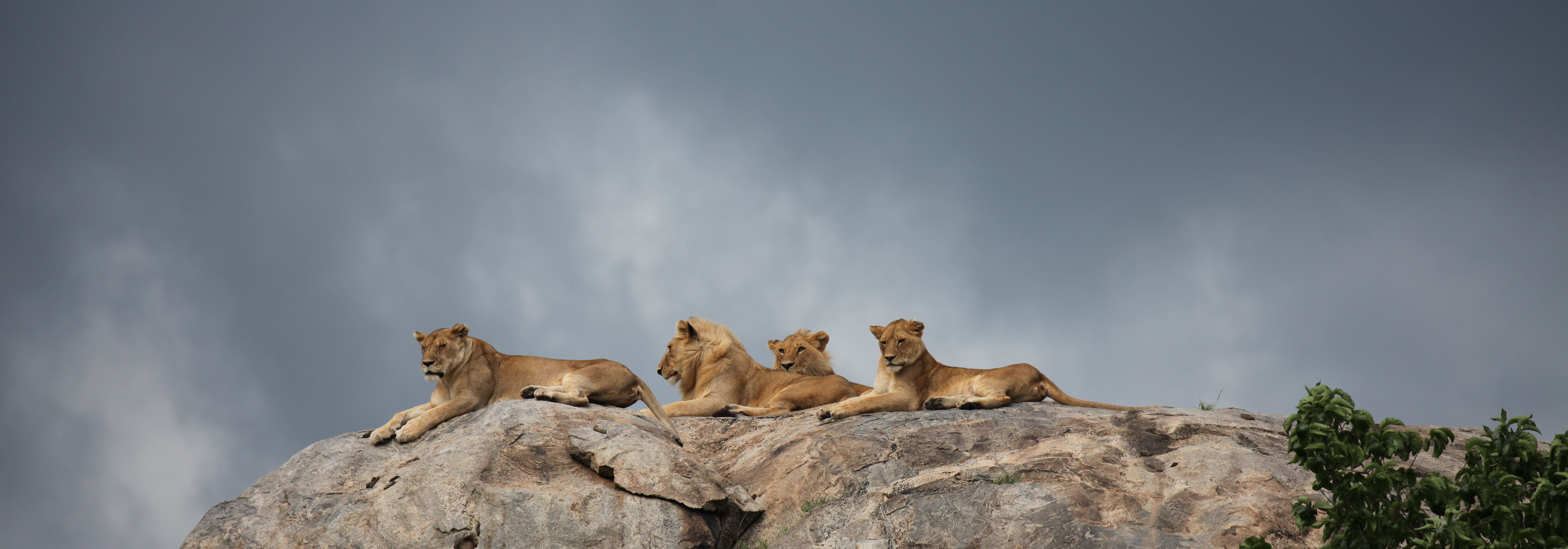 A Pride of Lions on a Kopje