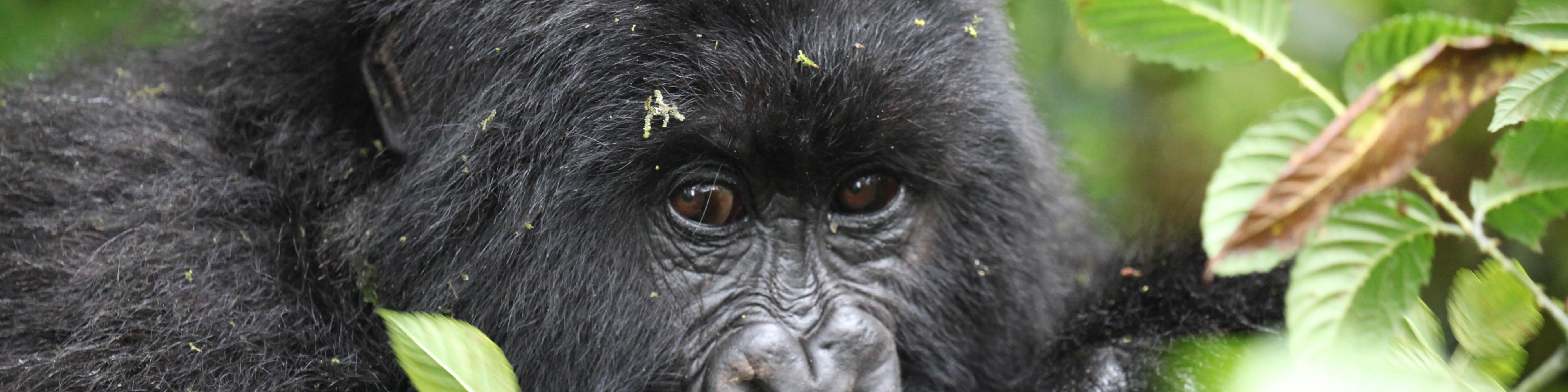 Mountain gorilla eyes