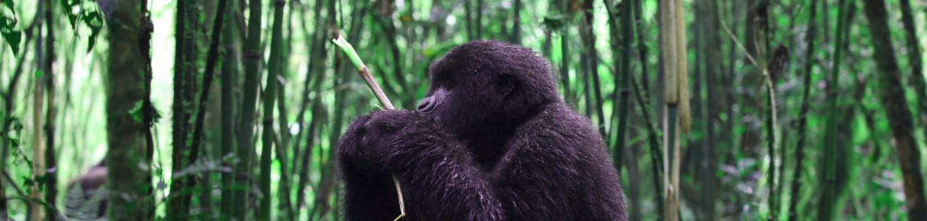 gorilla-trek-eating-1