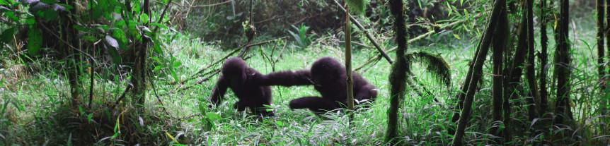 Young Gorillas at Play