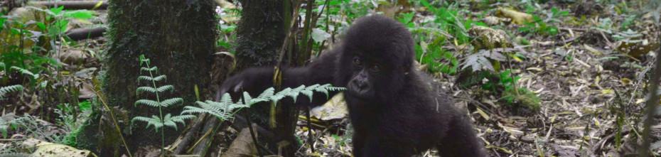 are-gorillas-dangerous