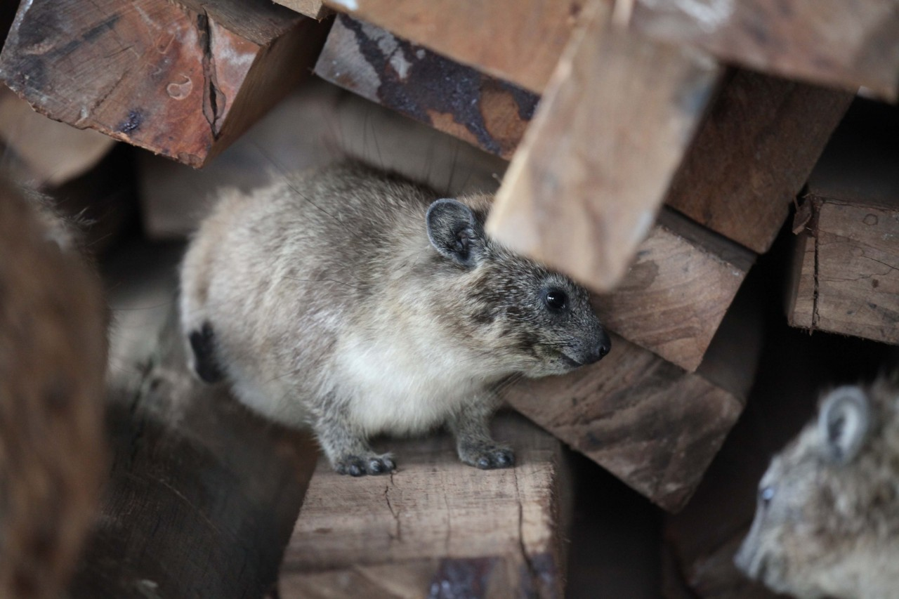 Hyrax of the little big five