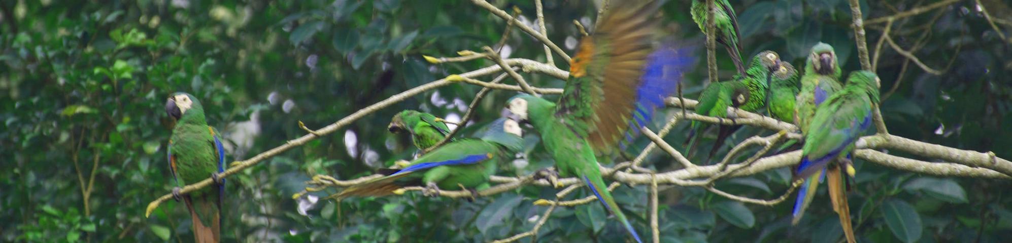 Birds of the Amazon