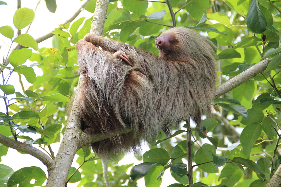 Howler Monkeys, Sloths & Marmosets
