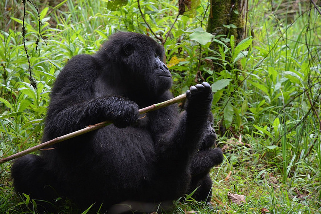 Ecotourism and Gorillas