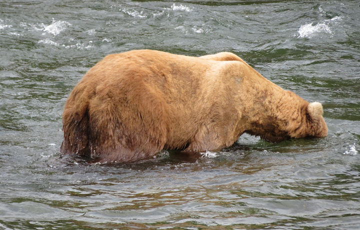 Grizzly bear fishing for salmon in Alaska