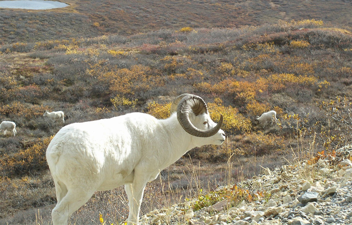 A Dall Sheep grazing in Alaska