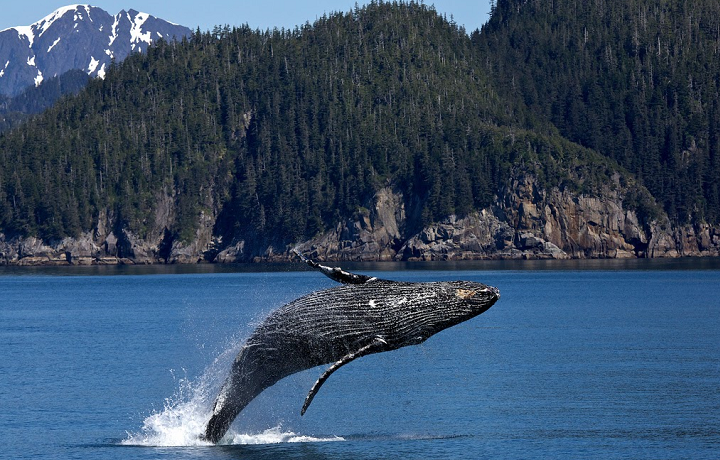 A whale jumping out of the water in Alaska