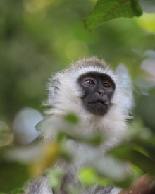 Vervet Monkey in Arusha near the Lodge