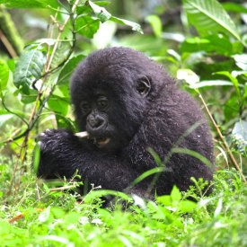 A baby mountain gorilla feasts on bamboo in Volcanoes National Park