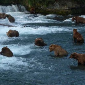 Brown Bears fishing at Brooks Falls in Katmailand!