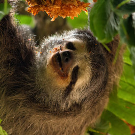 Search for three-toed sloths & more!