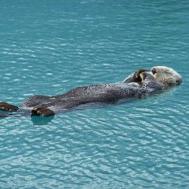 A sea otter on its back