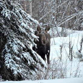 A Moose Plays Coy