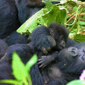 Wild Mountain Gorillas