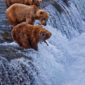 Brown bears catching salmon at Brooks Falls in Katmailand National Park