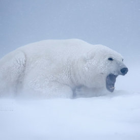 Polar Bear in the Cold