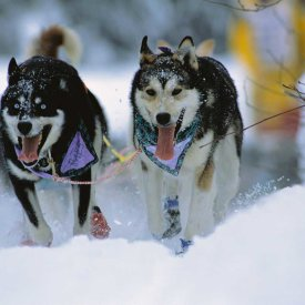 The sled dogs in action