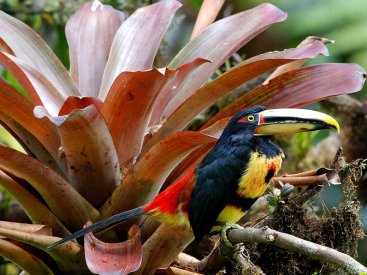 An aracari toucan resting on a bromelia in the rainforest