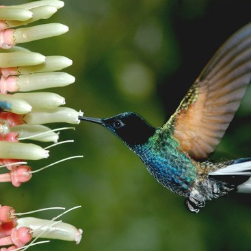 One of the more than 130 hummingbird species found in Ecuador