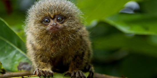 Pgymy marmosets, one of the world's smallest monkeys, can be seen in the Amazon Rainforest