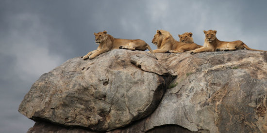 Lions on a Kopje in Serengeti National Park