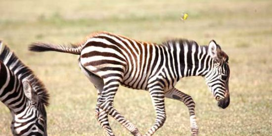 A baby zebra in the Serengeti